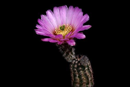 Echinocereus reichenbachii subsp. perbellus, USA, Texas, Pecos Co., Reeves