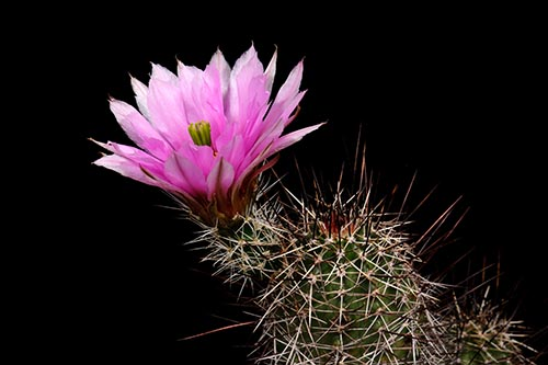 Echinocereus fendleri, USA, New Mexico, Lordsburg