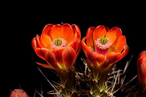 Echinocereus coccineus subsp. gurneyi, USA, Texas, Marathon, BW105