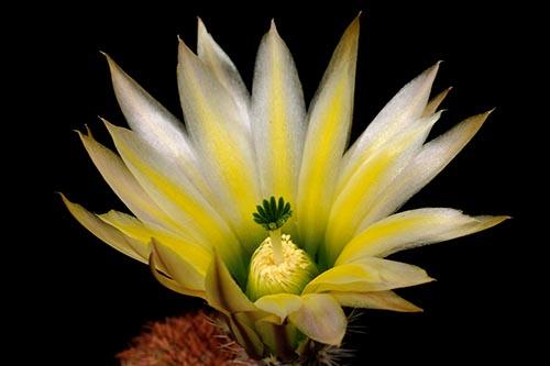 Echinocereus dasyacanthus, USA, Texas, Brewster Co, Sta. Elena