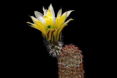 Echinocereus dasyacanthus, USA, Texas, Brewster Co., Castalone - Sta. Elena