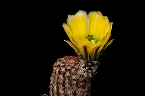 Echinocereus pectinatus, USA, Brewster Co., Maxwell