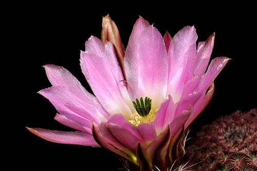 Echinocereus pectinatus, Mexico, Chihuahua, Hidalgo del Parral - Jiminez