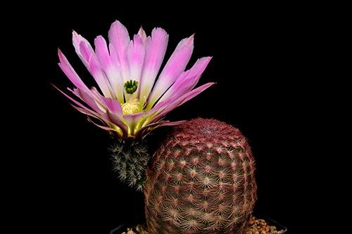 Echinocereus pectinatus, Mexico, Nuevo Leon, San Roberto