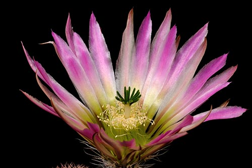 Echinocereus dasyacanthus subsp. crockettianus, USA, Texas, Crockett Co.