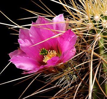 Echinocereus nicholii, USA, Arizona
