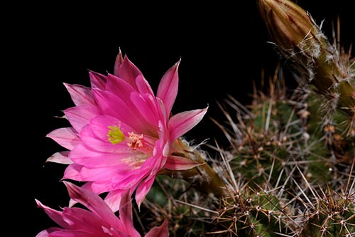 Echinocereus scheeri, Mexico, Sonora, Maycoba - Yepachic