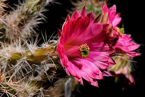 Echinocereus scheeri, Mexico, Chihuahua, Estacion Divisadero