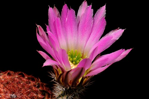 Echinocereus pectinatus, Mexico, Zacatecas, Santa Rita