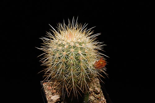 Echinocereus russanthus subsp. weedinii, USA, Timber Mountains