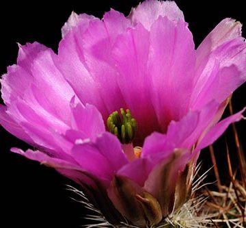 Echinocereus fendleri, USA, New Mexico, Lordsburg