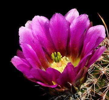 Echinocereus bonkerae, USA, Arizona, Globe
