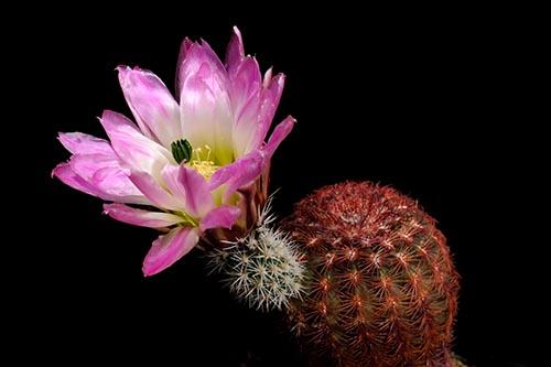 Echinocereus pectinatus, Mexico, Durango, Rodeo - Las Nieves