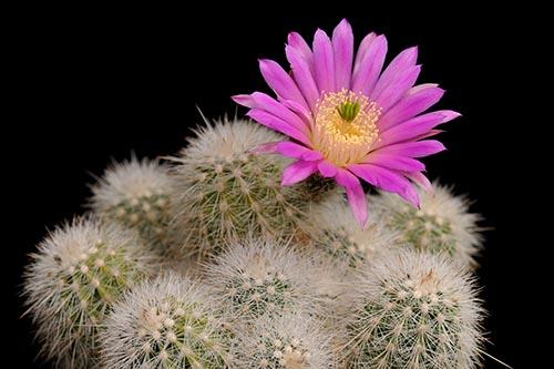 Echinocereus nivosus, Mexico, Coahuila, SB0290