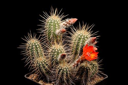 Echinocereus salm-dyckianus, Mexico, Chihuahua, Yoquivo