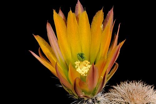 Echinocereus dasyacanthus, USA, Texas, McCamey