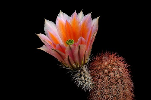 Echinocereus dasyacanthus, USA, Texas, Pecos Co.