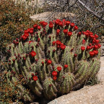 Echinocereus in Habitat - Echinocereus arizonicus, USA, Arizona, Pinal / Gila County
