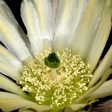 Die Blütenfarben von Echinocereus pectinatus von Detras (Video)