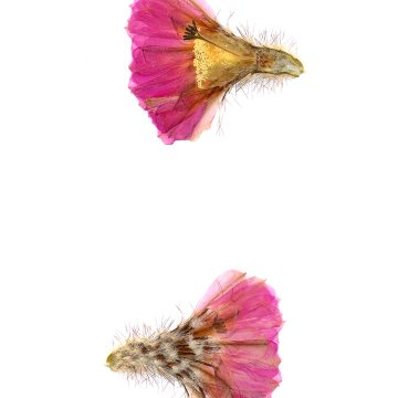 HMAO-003-0113 - Echinocereus primolanatus, Mexico, Coahuila, Hipolito