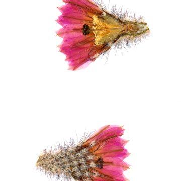 HMAO-003-0114 - Echinocereus primolanatus, Mexico, Coahuila, Hipolito