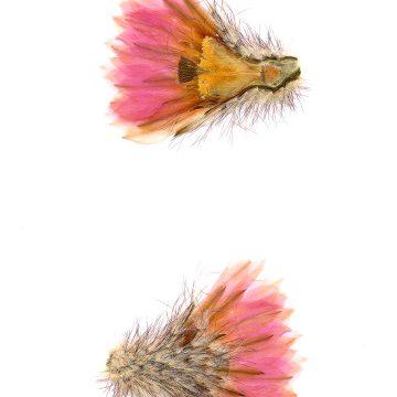 HMAO-003-0115 - Echinocereus primolanatus, Mexico, Coahuila, Hipolito