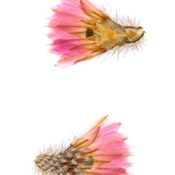 HMAO-003-0116 - Echinocereus primolanatus, Mexico, Coahuila, Hipolito