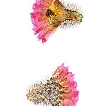 HMAO-003-0117 - Echinocereus primolanatus, Mexico, Coahuila, Hipolito