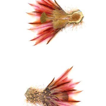 HMAO-003-0118 - Echinocereus dasyacanthus, Mexico, Chihuahua, Los Muertes