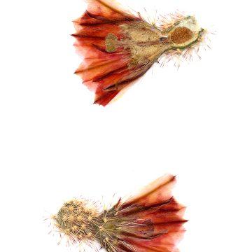HMAO-003-0119 - Echinocereus dasyacanthus, Mexico, Chihuahua, Los Muertes