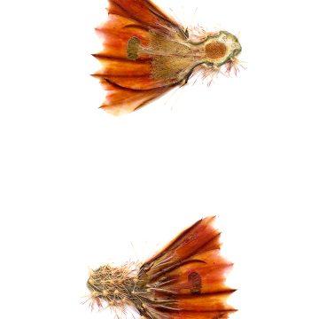 HMAO-003-0120 - Echinocereus dasyacanthus, Mexico, Chihuahua, Los Muertes