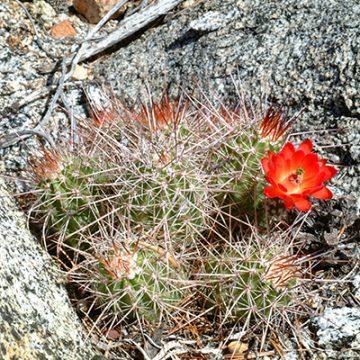 Echinocereus in Habitat - Echinocereus pacificus subsp. mombergerianus, Mexico, Baja California, Parque Sierra Pedro Martir