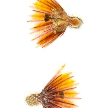 HMAO-003-0143 - Echinocereus dasyacanthus multispinosus, Mexico, Chihuahua, San Pedro