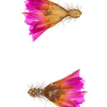 HMAO-003-0144 - Echinocereus pentalophus leonensis, Mexico, Coahuila, El Cinco
