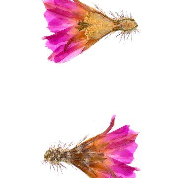 HMAO-003-0145 - Echinocereus pentalophus leonensis, Mexico, Coahuila, El Cinco