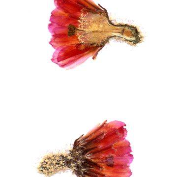 HMAO-003-0146 - Echinocereus pectinatus, Mexico, Detras
