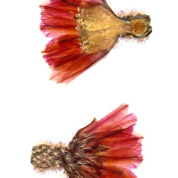 HMAO-003-0147 - Echinocereus pectinatus, Mexico, Detras