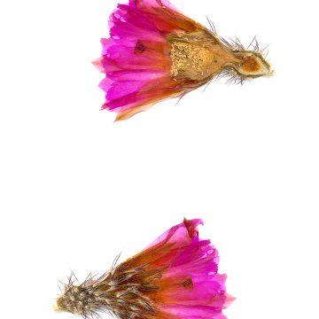 HMAO-003-0148 - Echinocereus pentalophus leonensis, Mexico, Coahuila, El Cinco