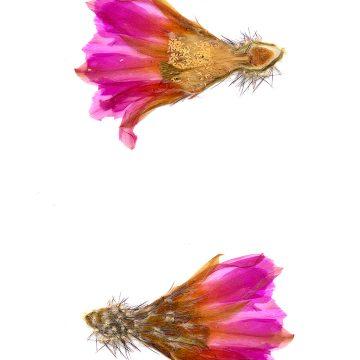 HMAO-003-0149 - Echinocereus pentalophus leonensis, Mexico, Coahuila, El Cinco