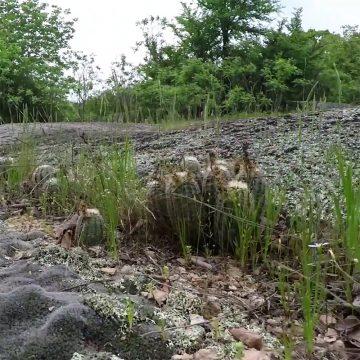 Spaziergang durch ein Habitat mit Echinocereus reichenbachii subsp. caespitosus (Video)