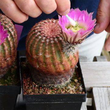 Bestäuben von Echinocereen (Video)