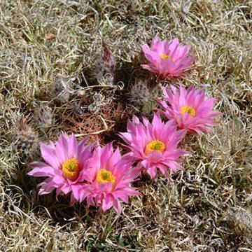 Echinocereus in Habitat - Echinocereus pulchellus subsp. weinbergii, Mexico, Zacatecas, El Arenal