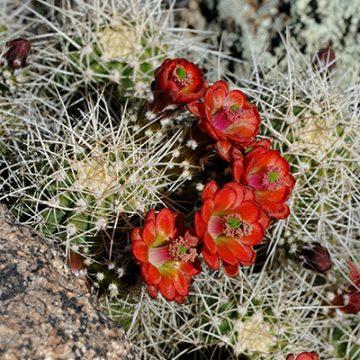 Echinocereus in Habitat - Echinocereus yavapaiensis, USA, Arizona, Yavapai County