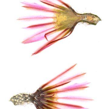 HMAO-003-0419 - Echinocereus pectinatus, Mexico, Coahuila, Sacramento