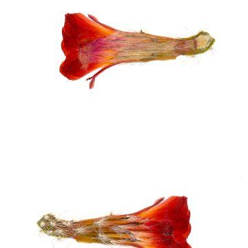 HMAO-003-0420 - Echinocereus salm-dyckianus, Mexico, Sonora, La Junta-Yecora