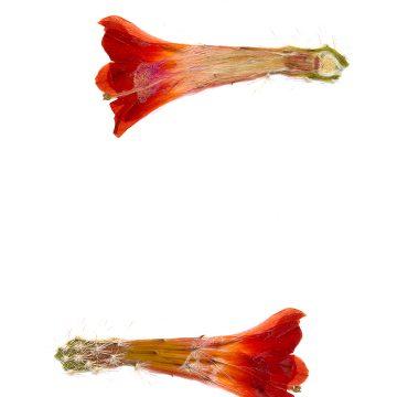 HMAO-003-0421 - Echinocereus salm-dyckianus, Mexico, Sonora, La Junta-Yecora