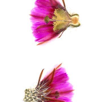 HMAO-003-0422 - Echinocereus fendleri rectispinus, USA, Arizona, Sonoita
