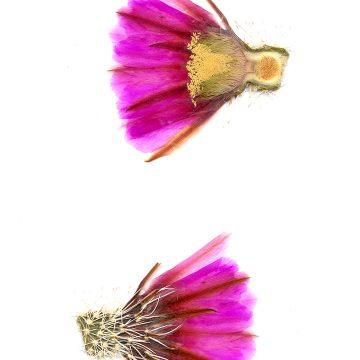 HMAO-003-0423 - Echinocereus fendleri rectispinus, USA, Arizona, Sonoita