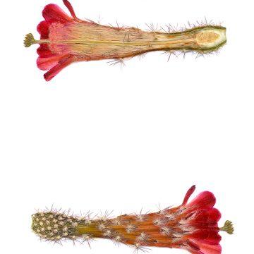 HMAO-003-0424 - Echinocereus acifer, Mexico, Zacatecas, Milpillas