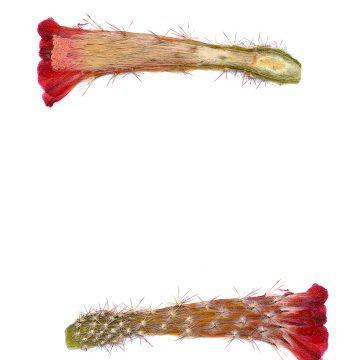 HMAO-003-0425 - Echinocereus acifer, Mexico, Zacatecas, Milpillas
